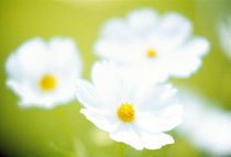 Close-up of white cosmos flowers by Panoramic Images