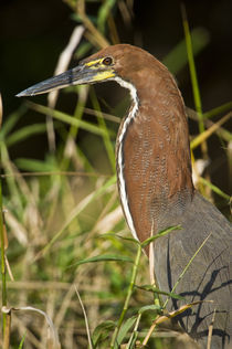 Close-up of a Rufescent Tiger heron (Tigrisoma lineatum) by Panoramic Images