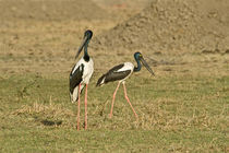 Close-up of two Black-Necked storks (Ephippiorhynchus asiaticus) von Panoramic Images