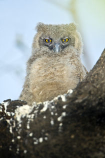 Close-up of a Dusky Eagle-owlet (Bubo coromandus) perching on a tree von Panoramic Images