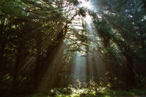 Sunbeams through misty forest, Oregon, united states, by Panoramic Images