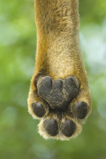 Close-up of a lion's paw, Lake Manyara, Arusha Region, Tanzania (Panthera leo) by Panoramic Images