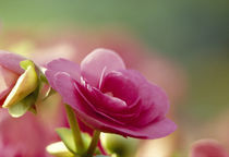 Close-up of wild roses by Panoramic Images