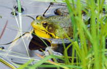 Green frog (Rana clamitans) hiding behind pond grasses, New York, USA. by Panoramic Images