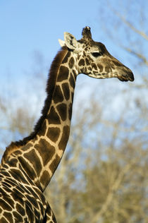 Giraffe (Giraffa camelopardalis), portrait profile. von Panoramic Images