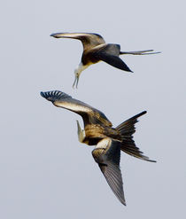 Two Magnificent frigatebirds (Fregata magnificens) flying in the sky by Panoramic Images