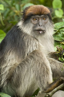 Close-up of a Red Colobus monkey, Kibale National Park, Uganda von Panoramic Images