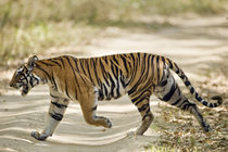 Bengal Tiger (Panthera tigris tigris) walking in a forest by Panoramic Images