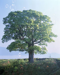 Single green tree standing in field with blue sky by Panoramic Images