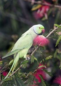 Close-up of a Rose-Ringed parakeet (Psittacula krameri) perching on a branch by Panoramic Images