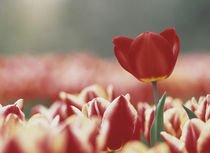 Single dark pink tulip rising above field of pale pink tulips by Panoramic Images