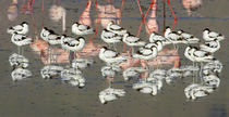 Reflection of avocets and flamingos in water by Panoramic Images