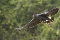 Great Black hawk (Buteogallus urubitinga) in flight by Panoramic Images