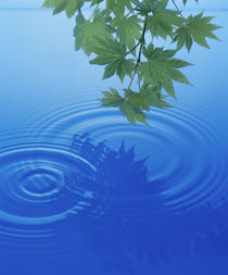 Branch with green leaves suspended over deep blue water  von Panoramic Images