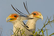 Close-up of two Secretary birds by Panoramic Images