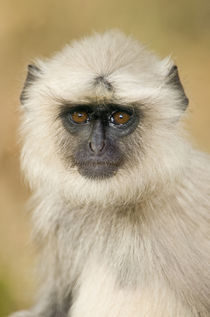 Close-up of a langur by Panoramic Images