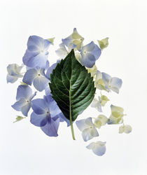Close up of green leaf and lavender flower petals scattered on white by Panoramic Images