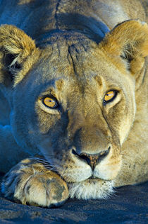 Close-up of a lioness von Panoramic Images