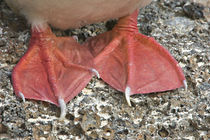 Close-up of a Red-Footed booby's (Sula sula) claws, Galapagos Islands, Ecuador by Panoramic Images