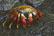 High angle view of a Sally Lightfoot crab (Grapsus grapsus) von Panoramic Images