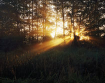 Sunbeams Through Alder Trees by Panoramic Images