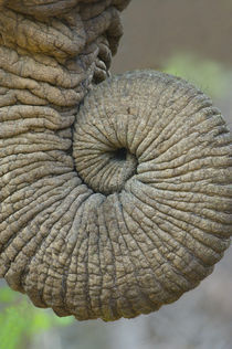 Close-up of an African elephant's trunk von Panoramic Images