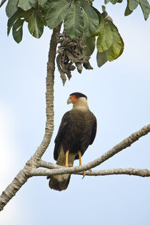 Crested caracara (Caracara cheriway) perching on a branch von Panoramic Images