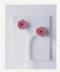 Two vivid pink gerbera daisy blooms on white stems with white background von Panoramic Images
