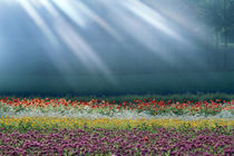 Field of multicolored flowers with streaks of white light rays von Panoramic Images