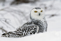 Snowy owl in snow, Michigan, USA. von Panoramic Images