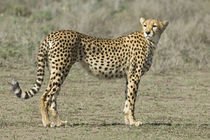 'Side profile of a cheetah' von Panoramic Images