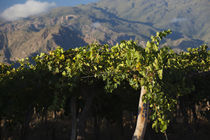 Crop in a vineyard, Cafayate, Calchaqui Valleys, Salta Province, Argentina by Panoramic Images
