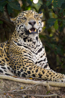 Close-up of a Jaguar (Panthera onca) snarling von Panoramic Images