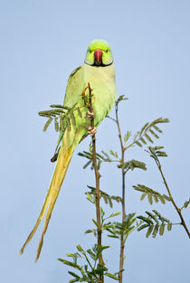 Low angle view of a Rose-Ringed parakeet  von Panoramic Images