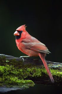 Male northern cardinal (Cardinalis cardinalis) on a mossy log by Panoramic Images