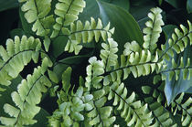 Maidenhair fern fronds, close up (Adiantum pedatum). von Panoramic Images