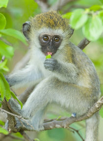 Vervet monkey sitting on a branch von Panoramic Images