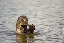 Giant otter (Pteronura brasiliensis) eating an Oscar fish by Panoramic Images