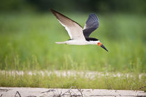 Black skimmer (Rynchops niger) in flight by Panoramic Images