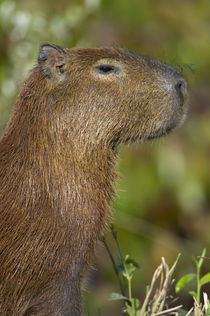 Close-up of a Capybara (Hydrochoerus hydrochaeris) von Panoramic Images