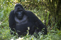 Mountain gorilla (Gorilla beringei beringei) in a forest von Panoramic Images