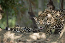 Jaguars (Panthera onca) in a forest by Panoramic Images