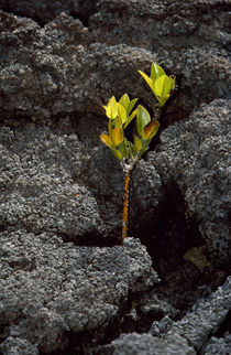 Plant growing in lava, Genovesa Island, Galapagos Islands, Ecuador by Panoramic Images