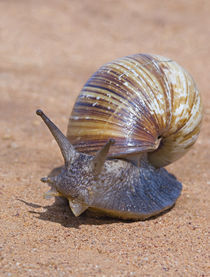Close-up of a Giant African land snail by Panoramic Images