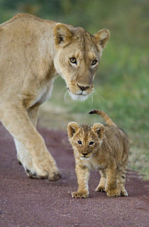 Close-up of a lioness and her cub by Panoramic Images