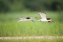Black skimmers (Rynchops niger) in flight by Panoramic Images