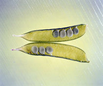 Two transparent pea pods with yellow green background by Panoramic Images