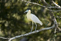 Capped heron (Pilherodius pileatus) perching on a branch von Panoramic Images