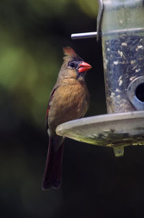 Female northern cardinal (Cardinalis cardinalis) on bird feeder von Panoramic Images