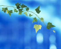 Green vine of ivy on deep blue by Panoramic Images